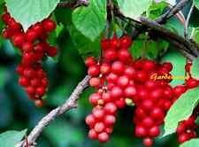 50 Graines Schisandra chinensis , wǔ wèi zi  five-flavor berry seeds