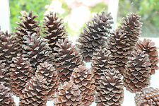 "15 Large Long Leaf Pine Cones Christmas Ornaments Crafts Arts Decor 4""-6"" Wreath"