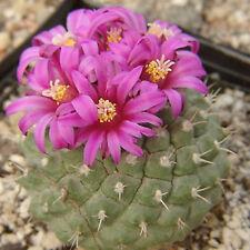 Strombocactus ssp esperanzae, rare cactus seed 15 SEEDS