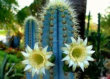 Pilosocereus azureus, Blue Torch Cactus, fresh seeds, night blooming, houseplant