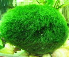 Marimo Moss Balls  Balls XXXL 2.7 inch (7cm) Live Plant Aquarium Tank In USA