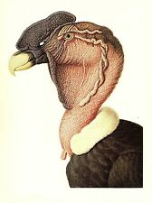 "1977 VINTAGE LAROUSSE ""ANDEAN CONDOR"" STUNNING! COLOR Art Print Lithograph"