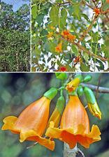 500 Graines Radermachera hainanensis , Golden Tree Jasmine Rare seeds