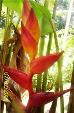 Heliconia Maya Blood Live Tropical Rhizome Exotic Plant