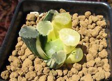 Haworthia variegate seedling