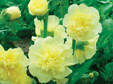 Hollyhock Seeds ~ *Double Yellow* ~ Alcea Rosea ~ Bulk ~ Heirloom ~ 100+ Seeds