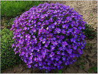 40 Seeds Of Each Pack Violet Queen Seeds Aubrieta Cultorum Flower Seed A163 Hot