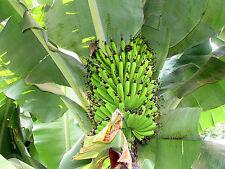 50 Seeds - Helen's Banana - Musa sp. Helens Hardy Hybrid