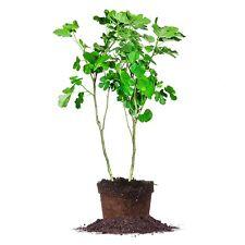Brown Turkey Fig Tree, Live Plant, Size: 5 Gallon