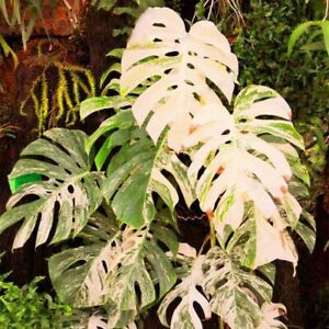 Palm Tree Turtle Leaves Monstera Variegated Seeds Rare Tree Mixed color