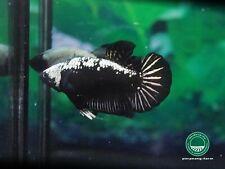 Black Samurai HMPK female betta #0547 / 3.5 mo / size s+ / virgin / nice form