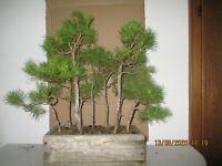 Pre Bonsai schöner Kiefer Wald.9 Bäume .Yamadori Höhe 56 cm Breite 60 cm