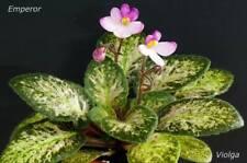 Emperor Blatt/ leaf African Violet Usambaraveilchen