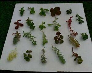10 Assorted Variety Sedum Cuttings, succulent, for terrariums & fairy gardens
