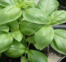 Basilikum Samen Genoveser; Basilikumsamen; Pesto; Gewürz; Kräuter; Bio
