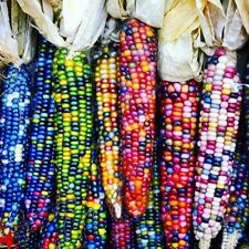 40Pcs Rainbow Corn Seeds Sweet Nutrient-rich Organic Grain High Quality Seeds