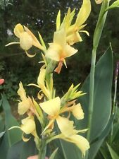 canna lily Thai lemon spotted tongue 10 Seeds