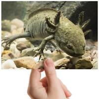 """Axolotl Salamander Animals Small Photograph 6"""" x 4"""" Art Print Photo Gift #16605"""