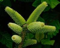 Spanish Fir (Abies pinsapo) 10 Seeds