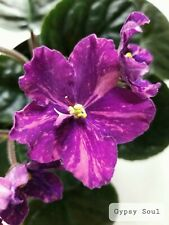 African Violet Gypsy Soul - Starter Plant/Plug