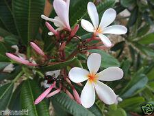 Live Plant: Singapore Pygmy Pink Plumeria-True Dwarf -Spicy Fragrance!