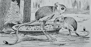 c1894 Antique Mouse Print THE EGYPTIAN JERBOA Royal Natural History Lydekker
