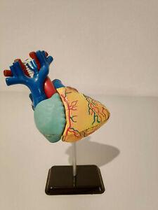 Anatomie-Modell Herz und Torso Lernspielzeug anatomisches Modell