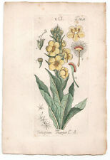 1791 Verbascum Tapsus, Hand Coloured print from Schkuhr's Manual of Botany