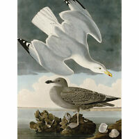Audubon Birds Herring Gull Painting Huge Wall Art Poster Print