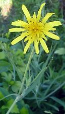 ANTI CANCER Huge Dandelion Seed (Tragopogon Pratensis) LIVER/GALLBLADDER HEALTH
