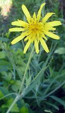 ANTI CANCER Huge Dandelion Seed (Tragopogon Pratensis) LIVER/GALLBLADDER HEALTH