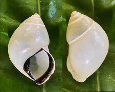 SHELLS landsnails, amphidromus thachi 27,80mm