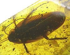 Baltic amber fossil insect inclusion huge cockroach Blattodea (co1)