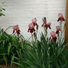 Indian Chief Tall Bearded Iris velvety wine red & bronze 3 RhiZomes