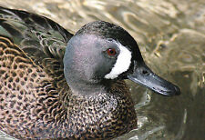 Blue Winged Teal Taxidermy Reference Photo Cd