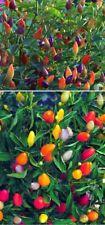 Regenbogenchili exotische Pflanzen Samen selten Garten Sämereien Saatgut Rarität