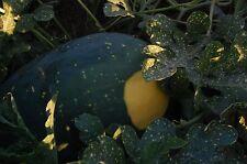 Moon & Stars Yellow Watermelon Seeds (~20): Certified Organic Non-GMO, Heirloom