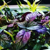 Hemigraphis Colorata Bunch Purple B2G1 Live Aquarium Plants Decorations Beginner