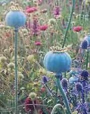 250 High Quality Poppy Seeds Giganteum Papaver Somniferum Massive Blue Flowers!