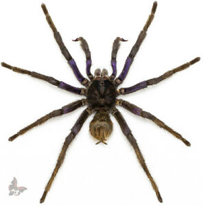 BIRD SPIDER -Pamphobeteus antinous- BLUISH MALE,GIANT!! UNMOUNTED