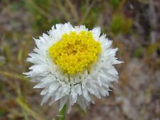 Poached Egg Daisy Seed Native Semi-Arid Living Pretty Annual Mass Planting