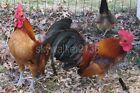 20+ Rare Variety GINGER RED Old English BANTAM chicken  fertile hatching eggs