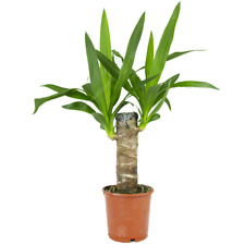 Yucca Elephantipes Spineless Yucca Live Indoor Decorative Houseplant in 12cm Pot