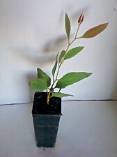 Eucalyptus cylindrocarpa (Gum Tree) in 50mm forestry tube native plant tree