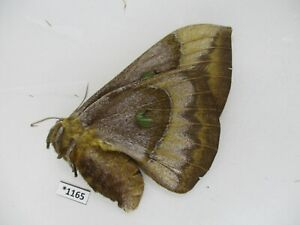1165. Insects moths, Salassa sp. North Vietnam