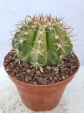 Melocactus matanzanus variegated