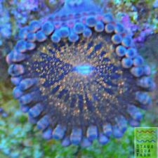 """Saf~ """"Wysiwyg�Mohican Sun Palythoa Coral Frag, Paly, Zoa, Live, Colony, Soft,lps"""