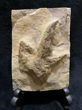Textbook Dinosaur Fossil Footprint Grallator Track for Sale!