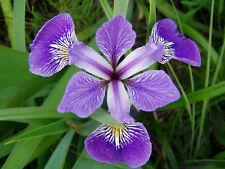 10 graines de CLAJEUX ( Iris Versicolor) X117 BLUE FLAG SEEDS SAMEN SEMENTES