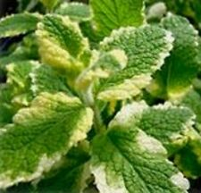 APPLE MINT VARIEGATED culinary HERB apple scented herb plant in 100mm pot
